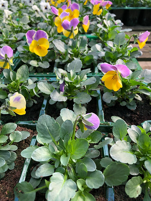 Violet and Yellow Viola Bedding Plants