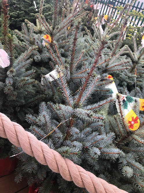 Blue Spruce Potted Christmas Tree