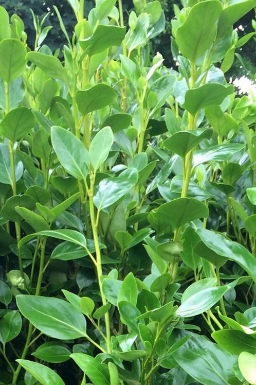Griselinia Green