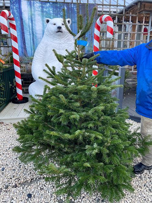 Real Christmas Tree - Over 6ft