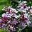 Thumbnail: Syringa  Microphylla 'Superba'