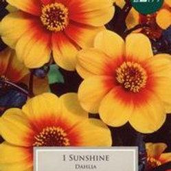 Sunshine Dahlia