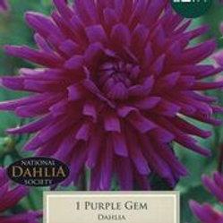 Purple Gem Dahlia