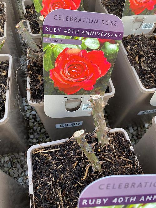 Ruby 40th Anniversary Rose