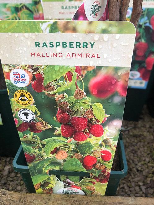 Raspberry - Malling Admiral
