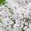 Thumbnail: Syringa Floweresta White