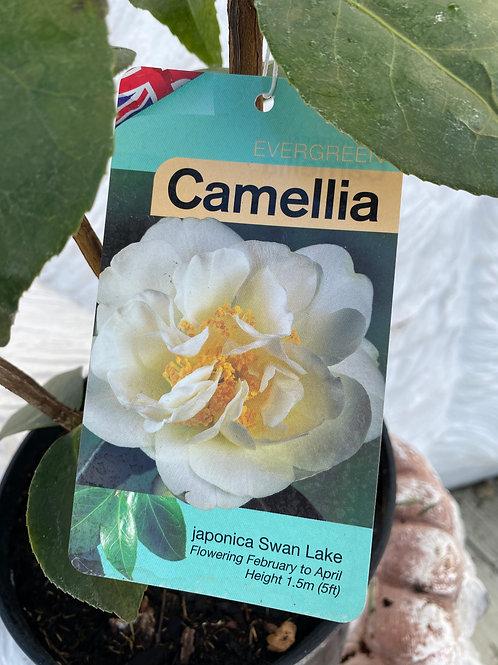 Camellia - Swan Lake (3L)