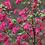 Thumbnail: Ribes 'Pullborough Scarlet'