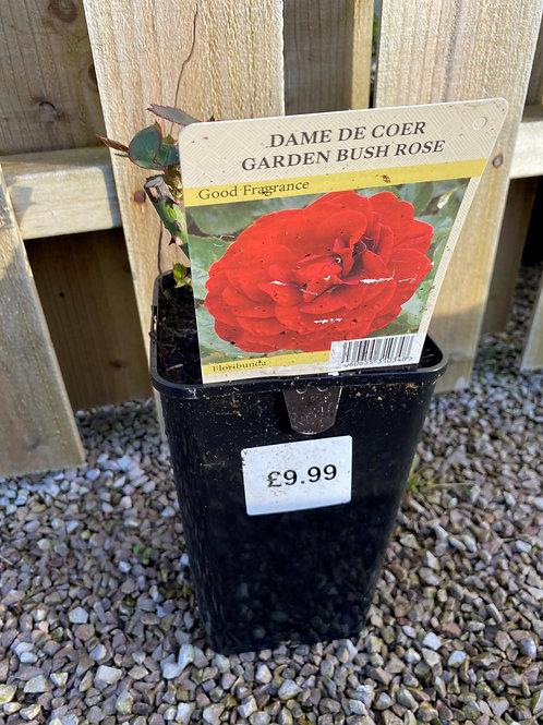 Bush Rose - Dame De Coer