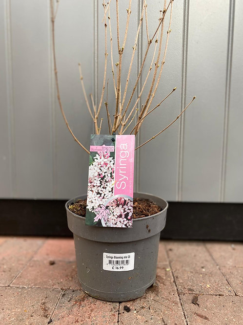 Syringa Floweresta White