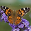 Thumbnail: Buddleja Lochinch 'Butterfly Bush'