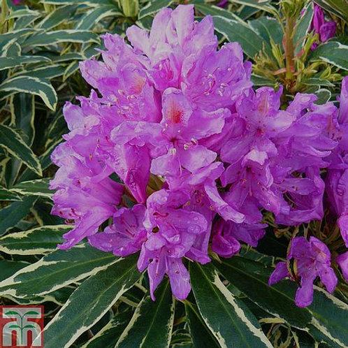 Rhododendron Ponticum Variegatum 7L
