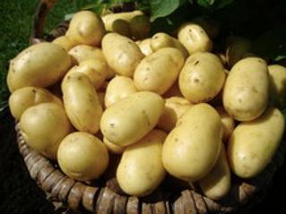 Charlotte Seed Potato 2.5kg