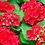 Thumbnail: Hydrangea Macrophylla 'Amsterdam'