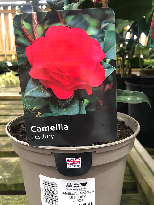 Camellia 'Les Jury' 3L