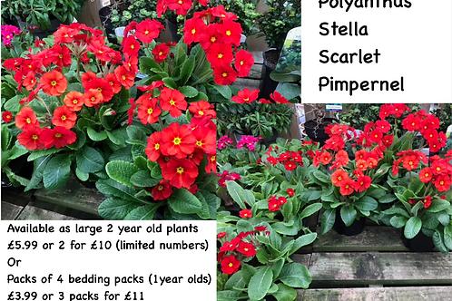 Stella Scarlett Pimpernel Polyanthus (4 plants per pack)
