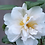 Thumbnail: Camellia - Silver Anniversary