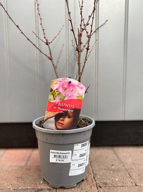 Prunus tri. 'Rosenmund'