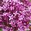 Thumbnail: Syringa 'Dark Purple'