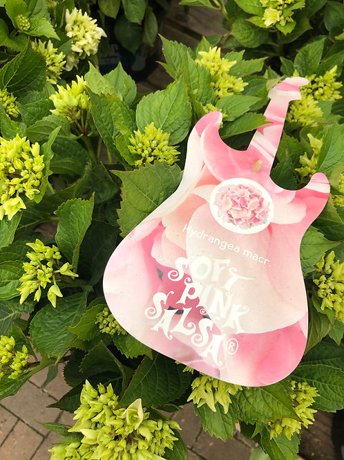 Hydrangea Macr. 'Soft Pink Salsa'