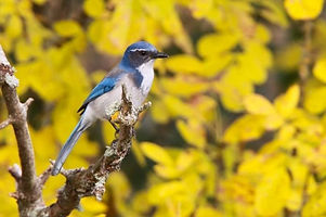 California-Scrub-Jay-Scott-Carpenter-640