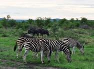 Photo-Zebras-and-Gnus_750_550_70_edited.jpg