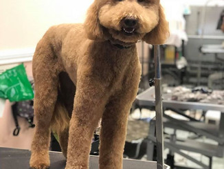 Bailey the mini doodle after her sPAW da
