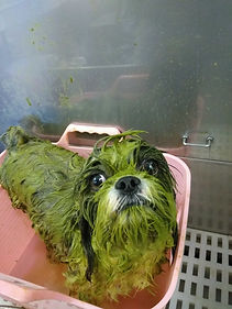 Green Tea dog.jpg