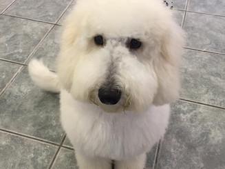 doodle pup.jpg
