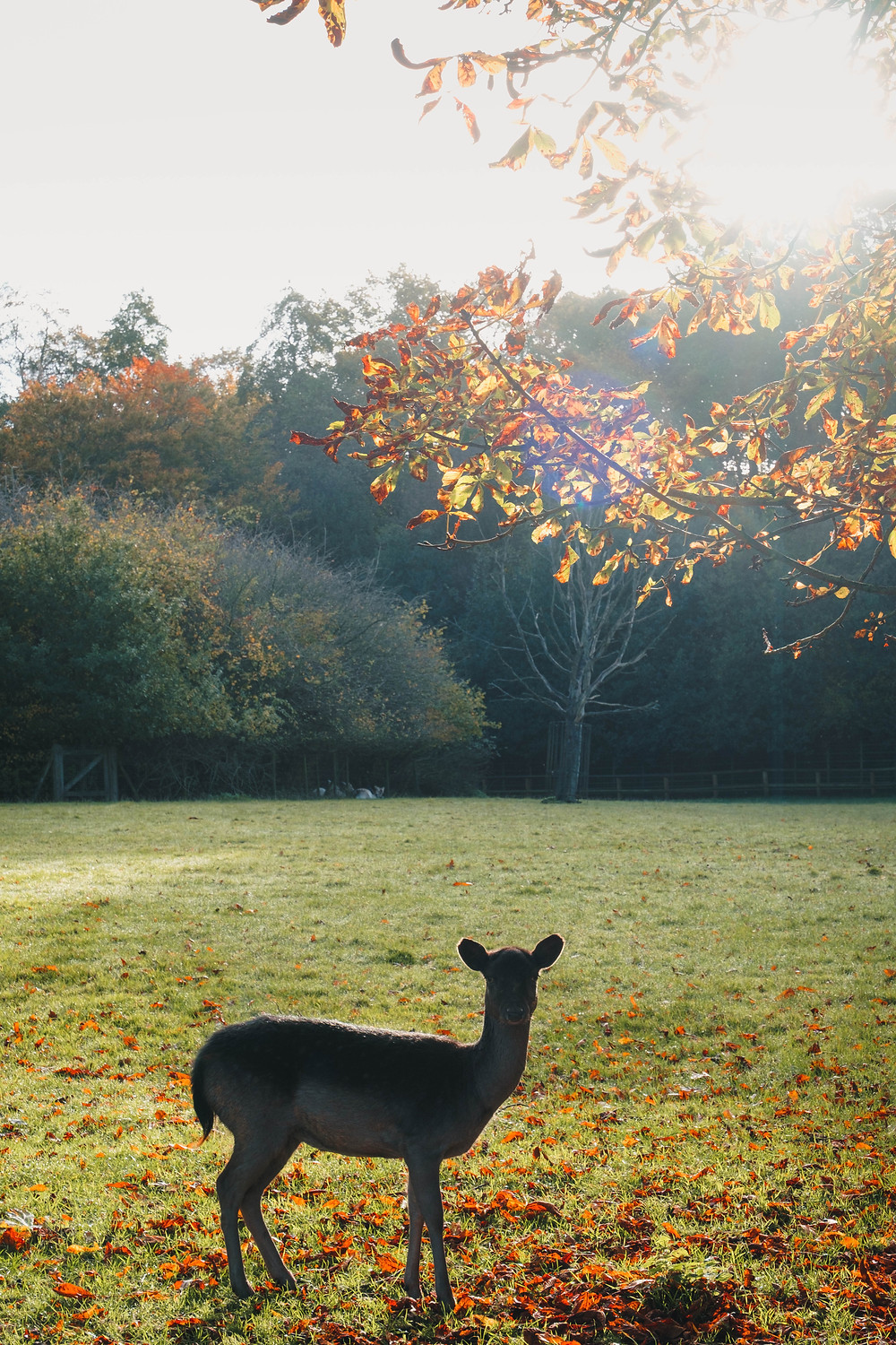 A photograph of a deer in Golders Hill