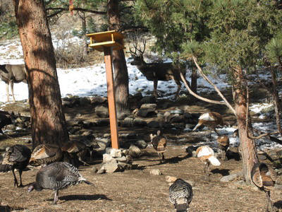 Turkey & Mule Deer