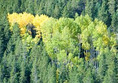 aspens among evergreens