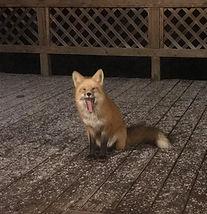 Yawny Fox .jpg