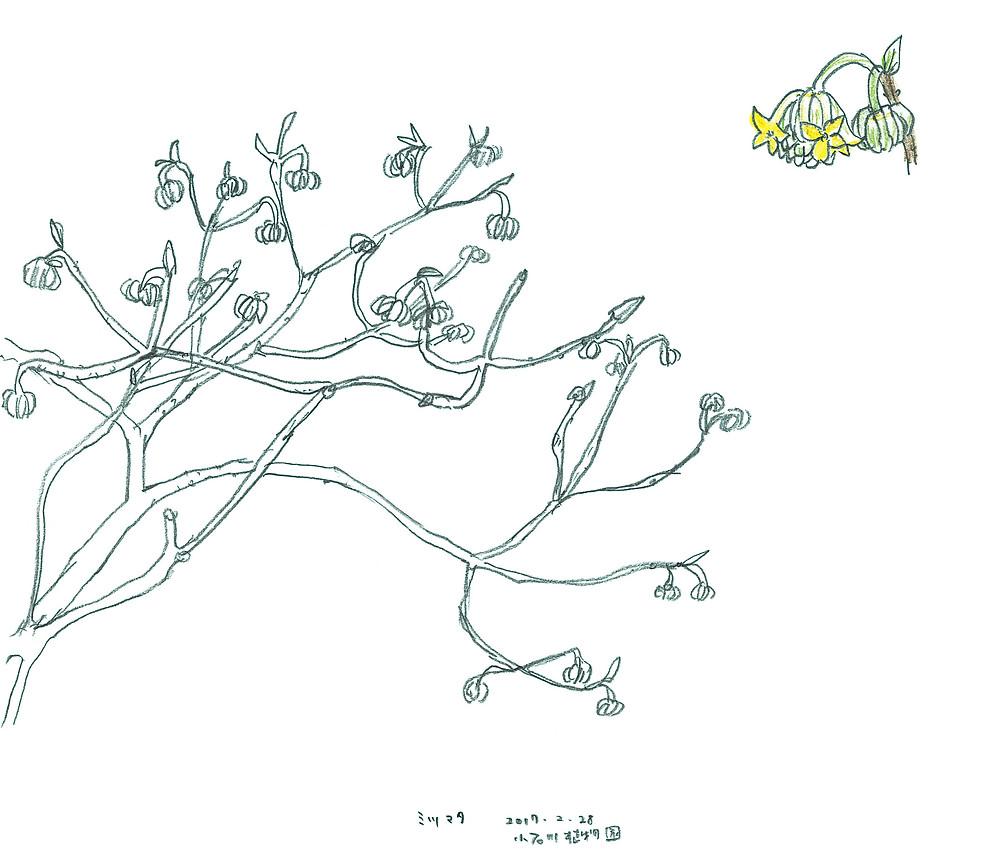 三椏のスケッチ(小石川植物園)