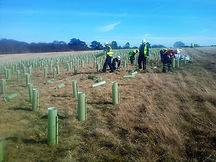 commercial tree nedge planting