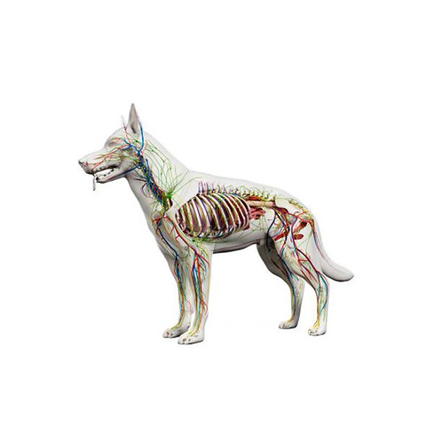 ISCP Level 3 Certificate in Canine Anatomy and Physiology