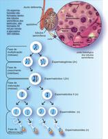 Espermatogênese_2