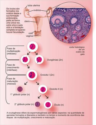 Ovulogênese_2