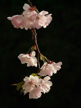 cherry-blossom-6418_1920.jpg
