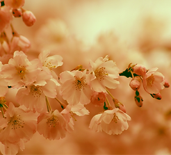 cherry-blossom-4085371_1920_edited.png