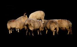 Sheep Mass (First Star)
