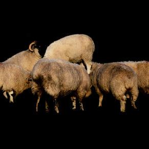'Sheep Mass'