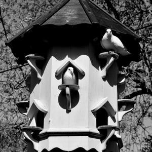 Lockdown Doves