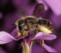 Osmi-brevicornis-klein.jpg