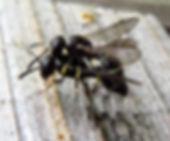 Microdynerus nugdunensis