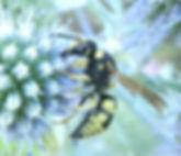 Euodynerus dantici