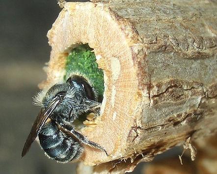 Osmia-caerulescens-nest-klein-quer1.jpg