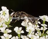 Micandrena-anthrisci-.male-watermark.jpg
