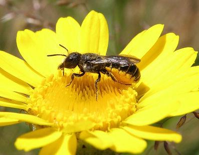 Heriades-truncorum-w-Blüte-klein.jpg