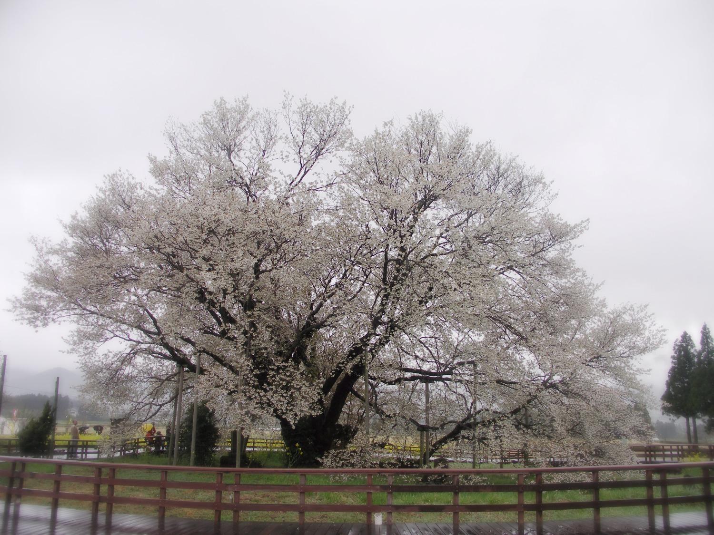 一心行の大桜(山桜)